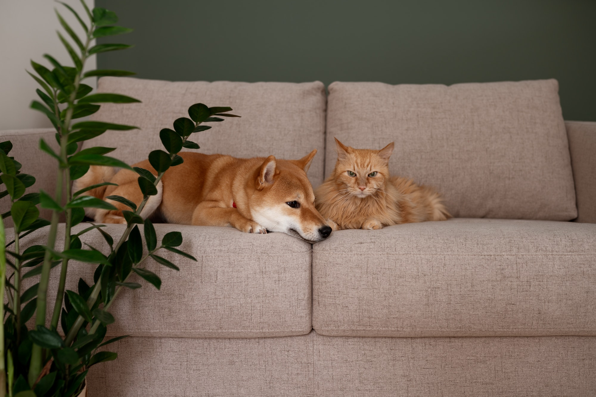 Red Shiba inu dog and red cat napping on gray couch in modern room with green wall. Cozy home